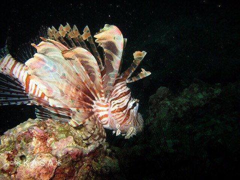 ダイビング ハナミノカサゴ