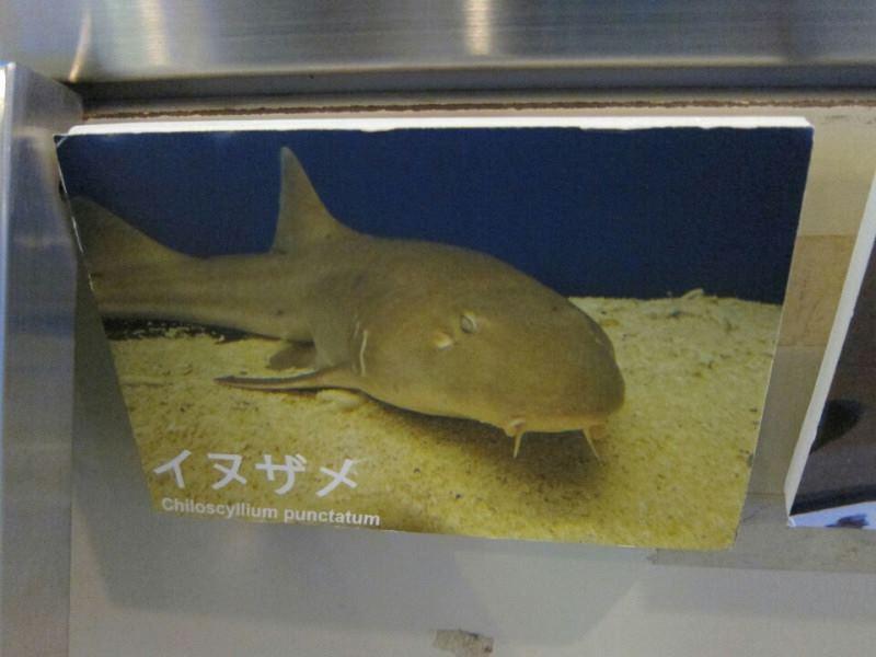 魚っち館 イヌザメ