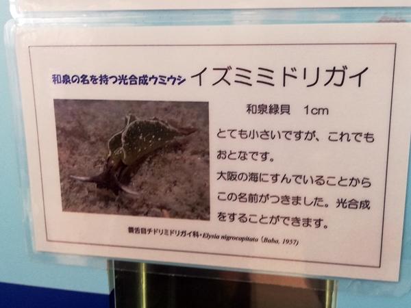 ウミウシ水族館イズミミドリガイの説明