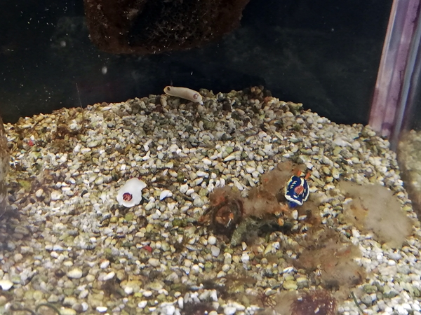 ウミウシ水族館アオウミウシとシラヒメウミウシ