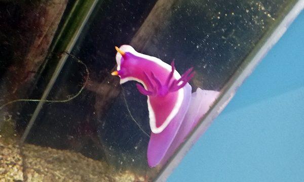 ウミウシ水族館カグヤヒメウミウシ