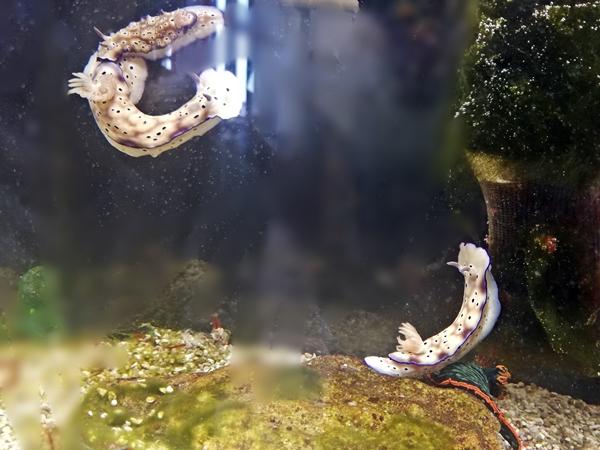 ウミウシ水族館マダライロウミウシ